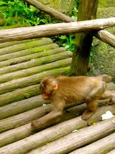 攻击内特的猴子